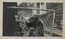 Caged Bear Cub